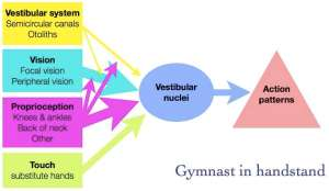 Equilibrium system in handstand.