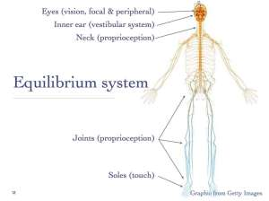 Sensory input to equilibrium system