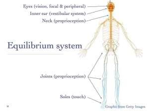 Sensory input to equilibrium system