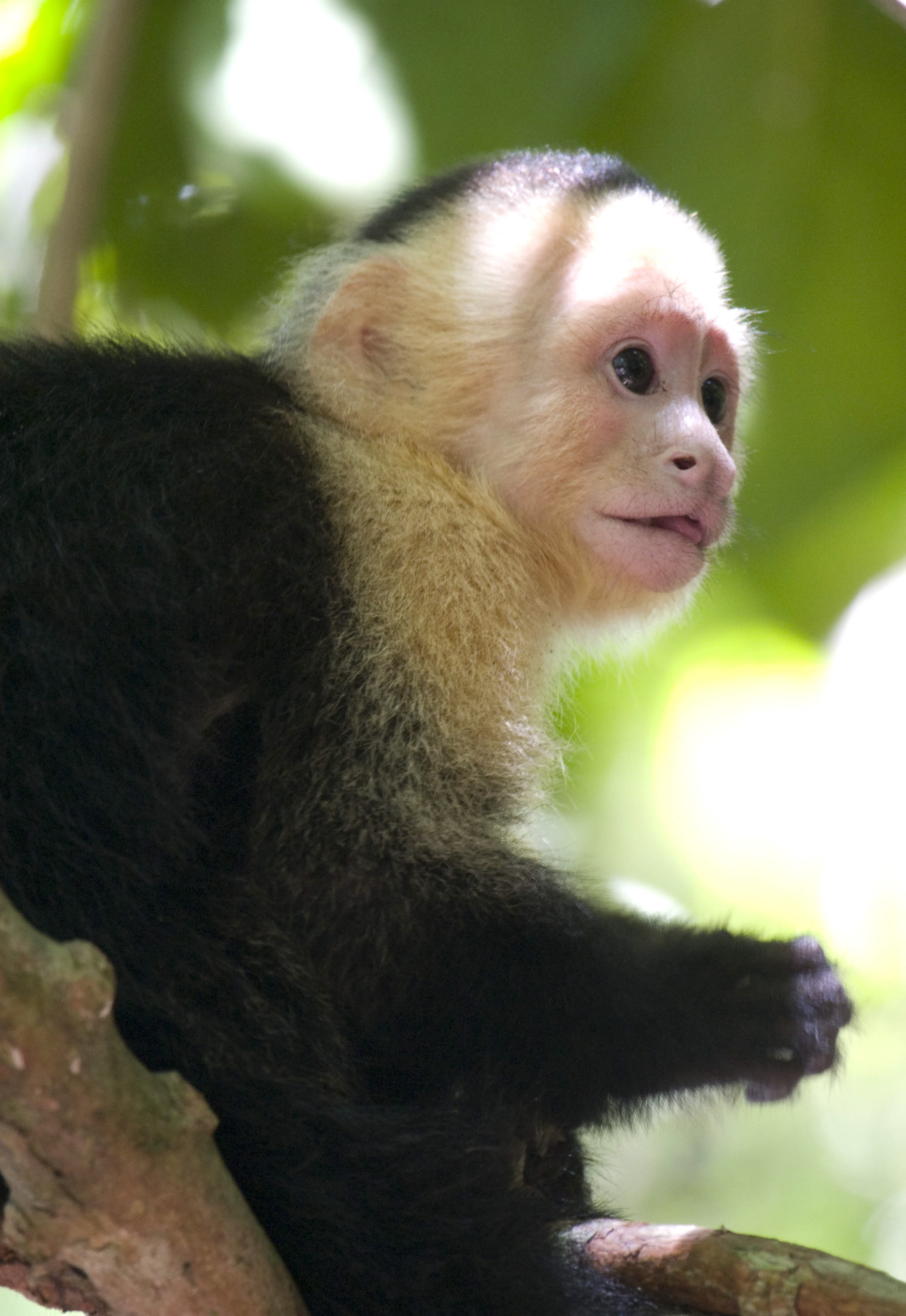 videos of animal black & white throat capuchin habitat