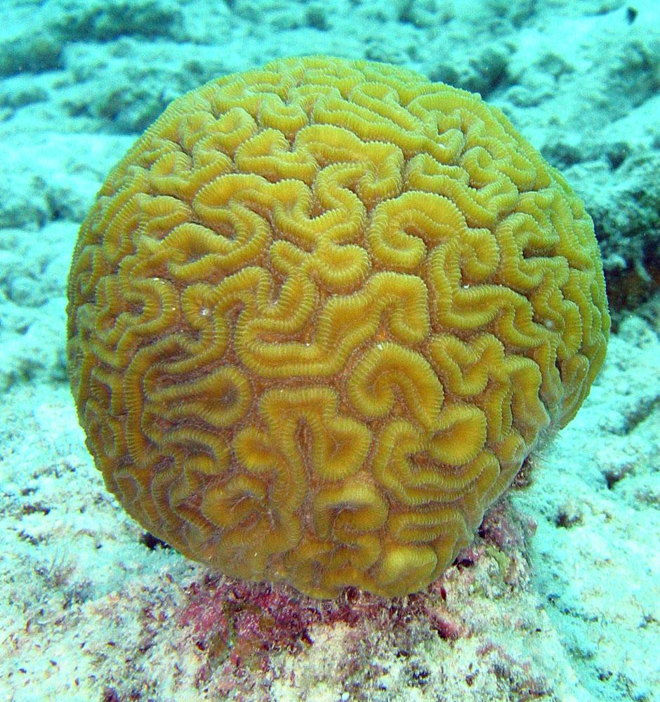 brain_coral1