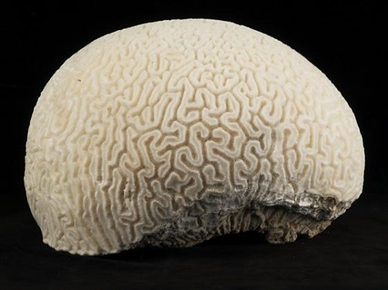 brain-coral-university-of-melbourne
