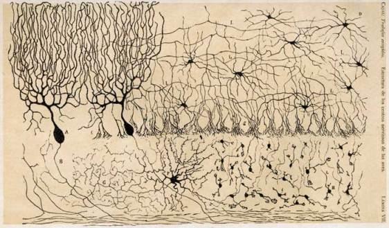 Cajal cerebellum