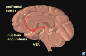 Dopamine System NIDA