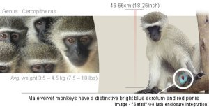 Vervet Monkey Foundation Identification Guide