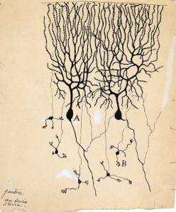 Cajal Purkinje Drawing